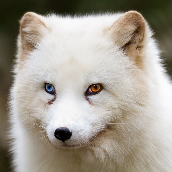 5 Amazing Animals With Different Colored Eyes - Fox