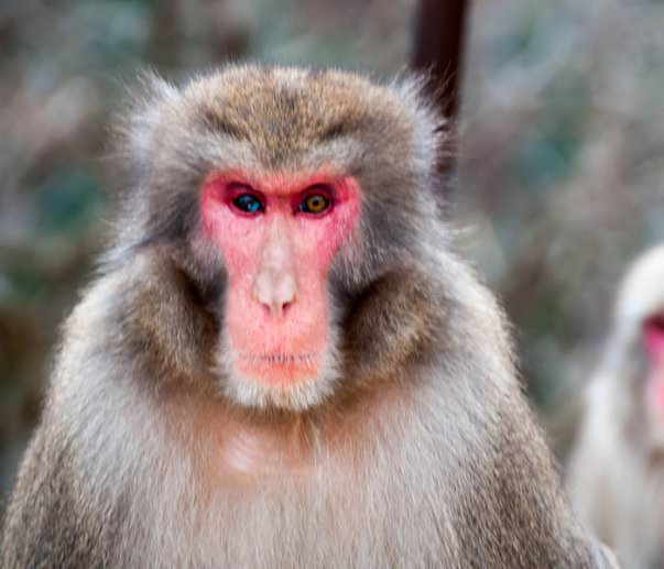5 Amazing Animals With Different Colored Eyes - Macaque