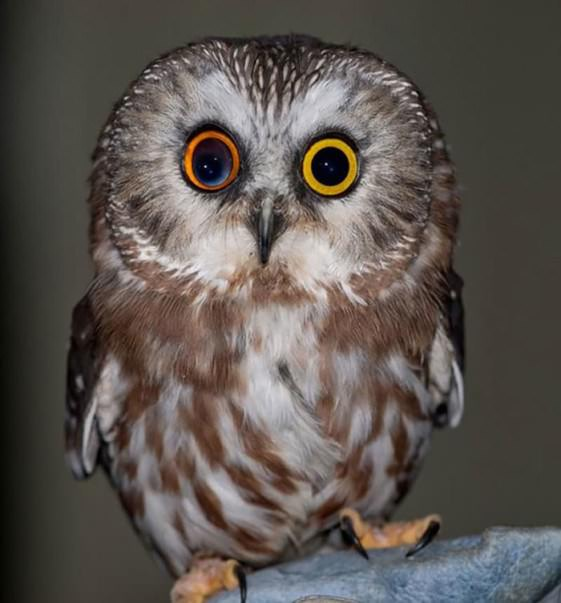 5 Amazing Animals With Different Colored Eyes - Owl