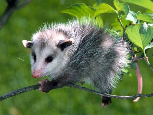 Self Immunizing Opossum - Self Immunizes Against Snake & Spider Bites