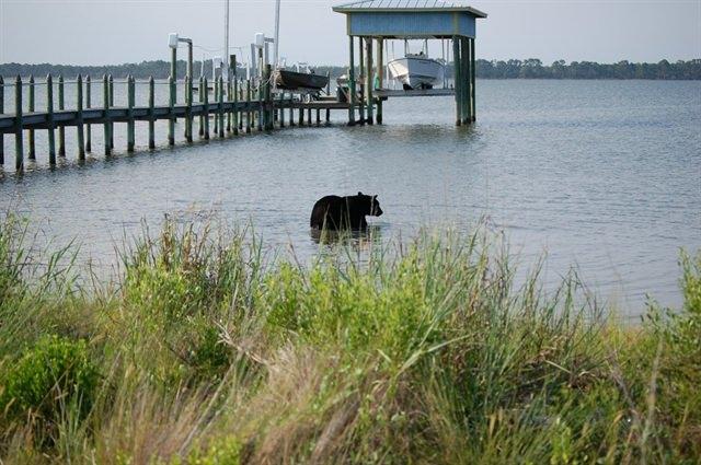Bear swim to the gulf