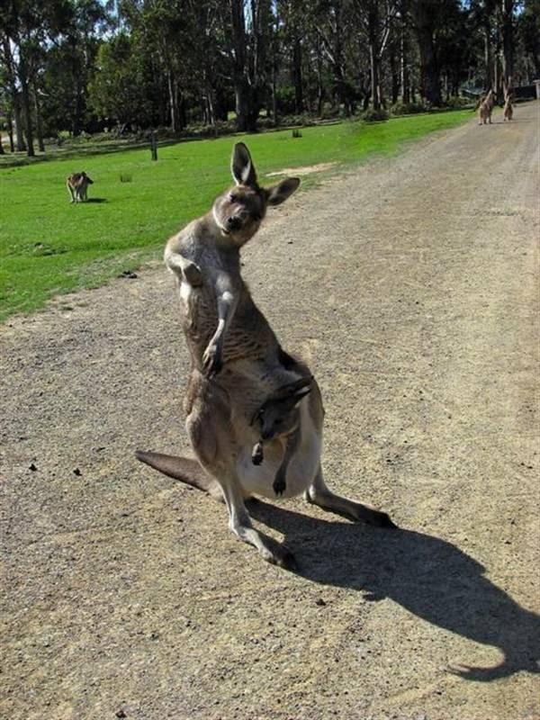 Kangaroo scratching