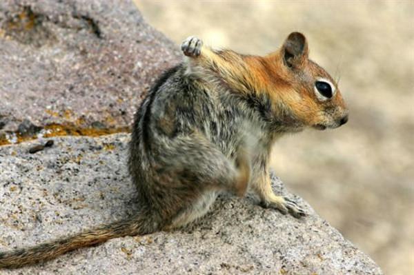 squirrel scratching itself