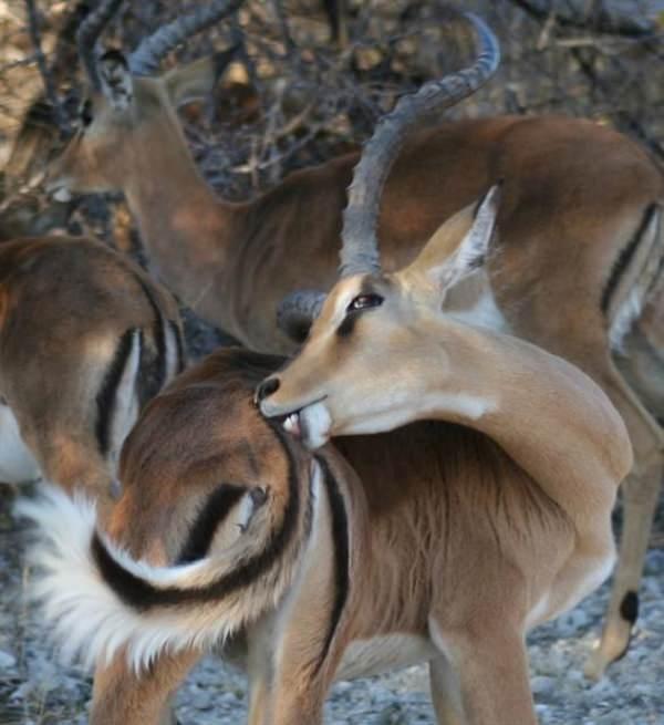 impala stag