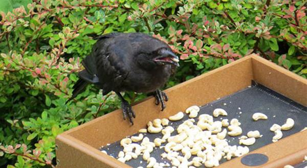 Gift giving crows