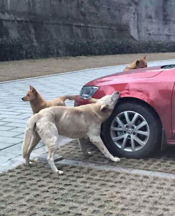 Gang of dog trashing driver car