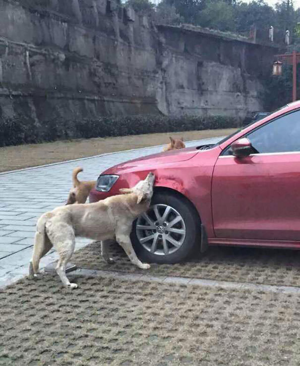 Dog chewing car wiper