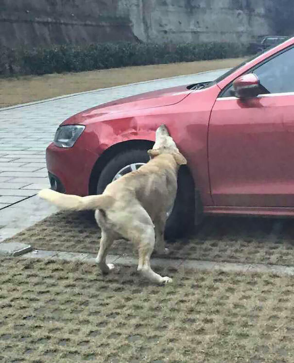 Dog getting revenge on driver