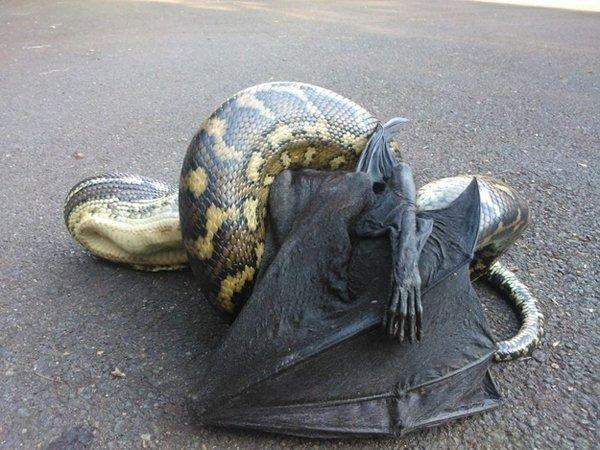 python eating bat