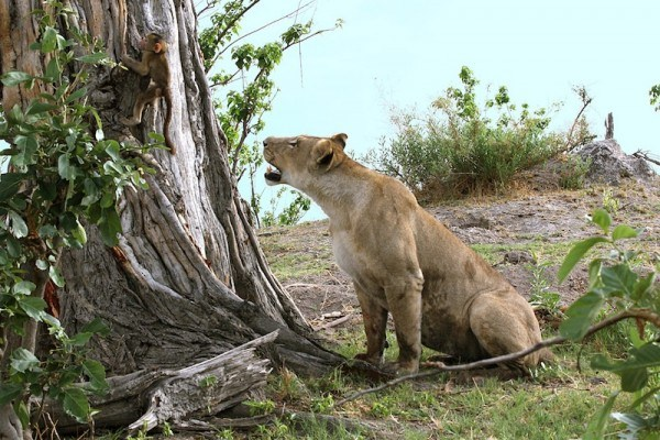 Lioness find a baboon