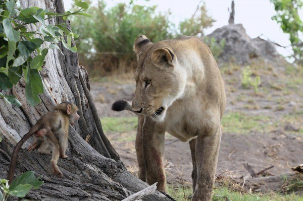 lioness and baby baboon