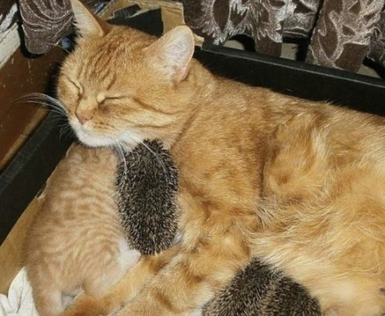 cat-adopted-hedgehog-babies-082815-2