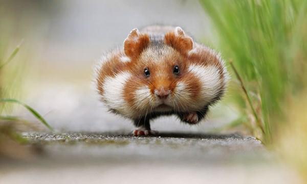 cute-hamster-092015-1