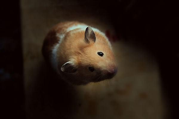 cute-hamster-092015-2