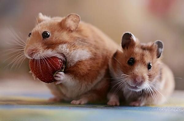 cute-hamster-092015-20