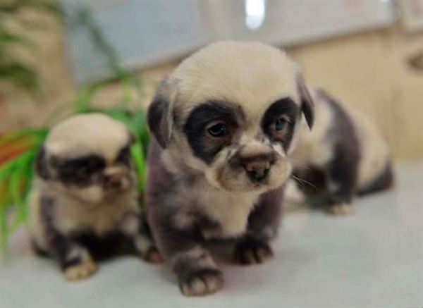 puppy-looks-like-teddy-bear-10
