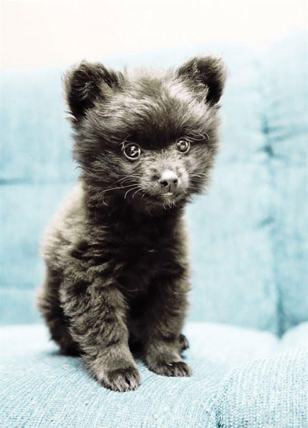 puppy-looks-like-teddy-bear-11