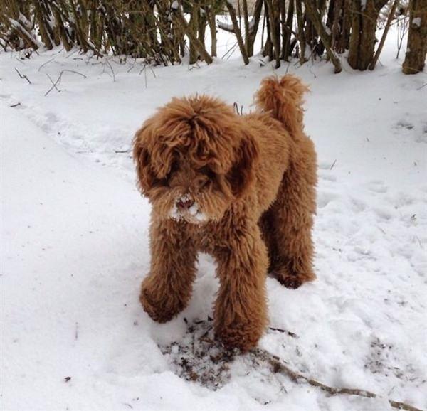 puppy-looks-like-teddy-bear-12