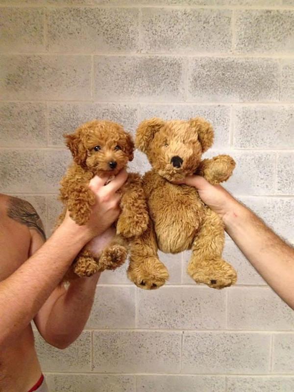 puppy-looks-like-teddy-bear-3