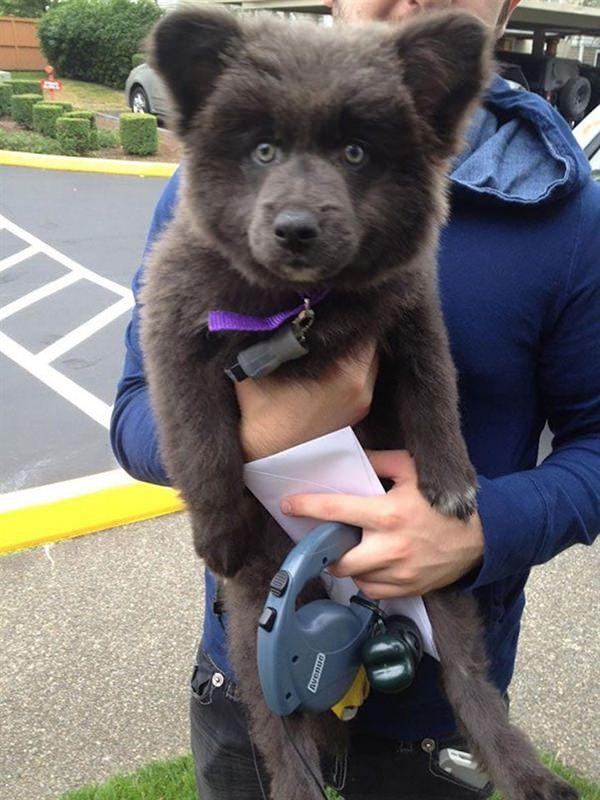 puppy-looks-like-teddy-bear-4
