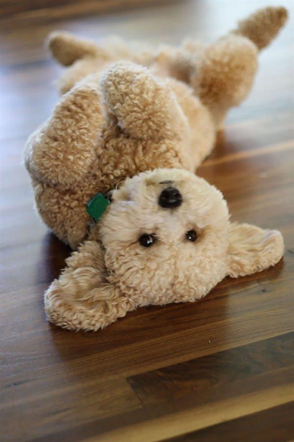 puppy-looks-like-teddy-bear-5
