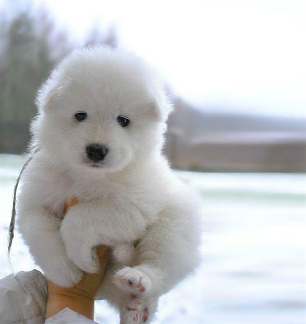 puppy-looks-like-teddy-bear-7