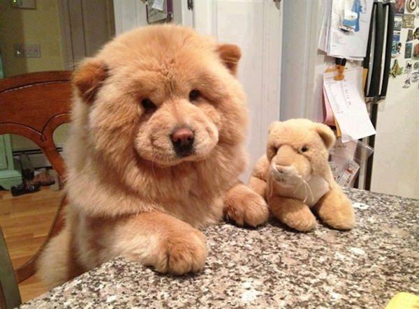 puppy-looks-like-teddy-bear-9
