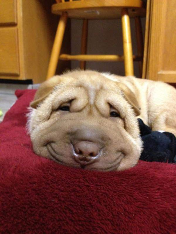 happiest-dogs-who-show-the-best-smiles-20150902-4
