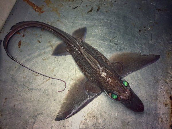 deep-sea-creature-20151223-3