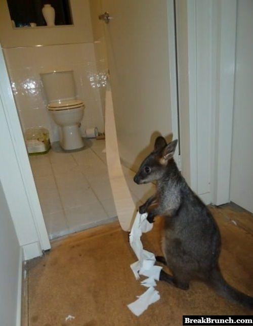 Kangaroo with toilet paper