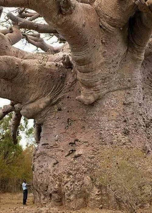600-years-old-tree-funny-picture-060918