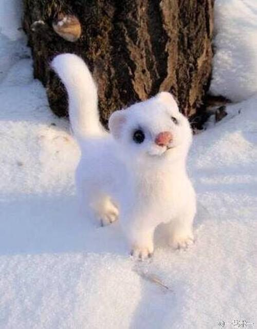 cute-white-weasel-071418
