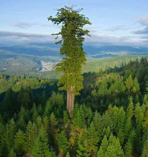 wordl-tallest-tree-at-379feet-funny-picture-072718