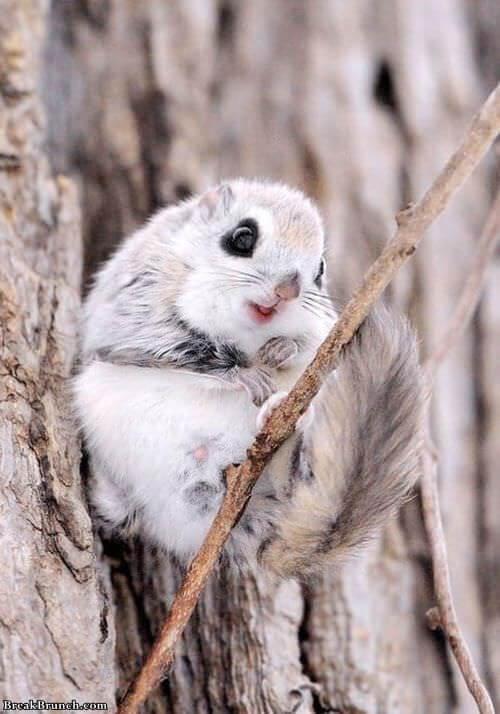 japanese-dwarf-flying-squirrel-0915181035