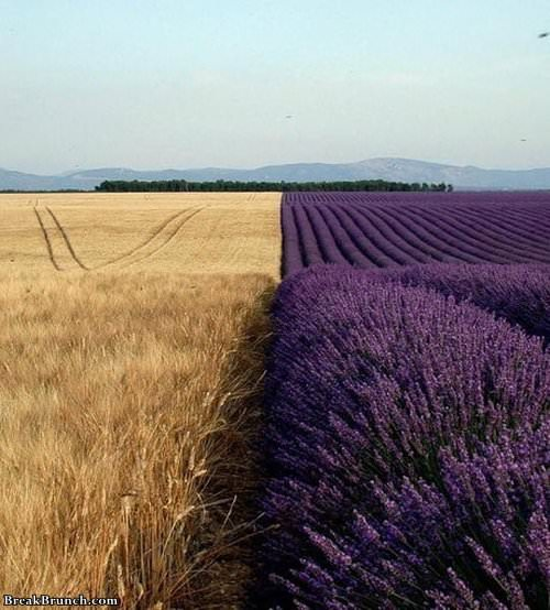 wheat-and-lavender-1118190846