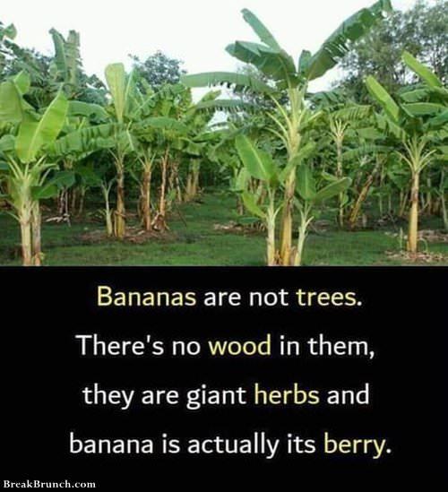 banana-is-not-tree-0106190907