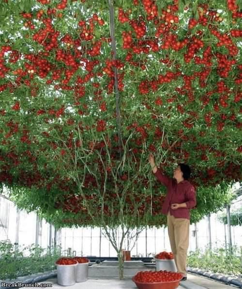 single-tomato-plant-022119