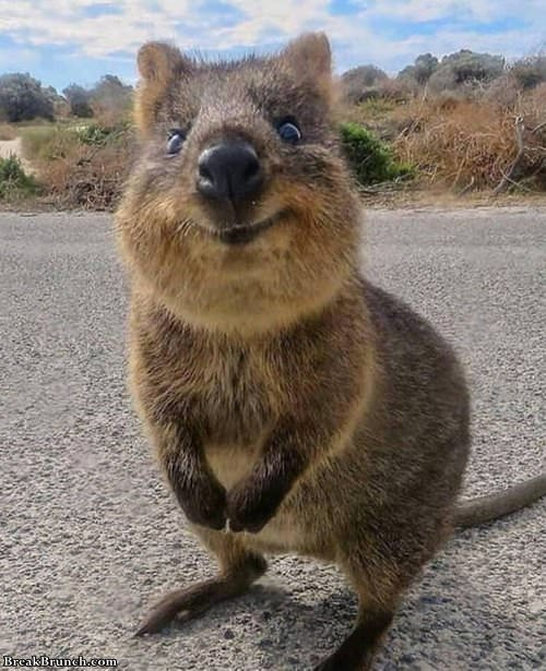 cute-picture-of-quokka-052319