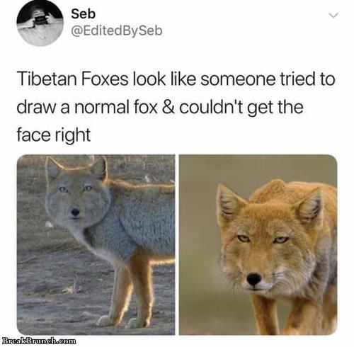 tibetan-fox-051419