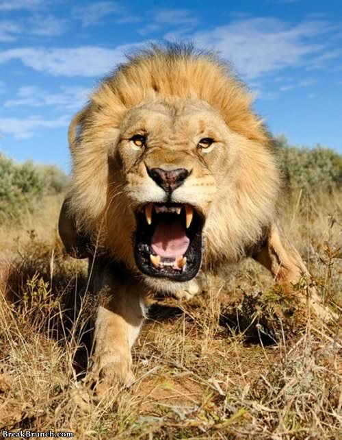 last-photo-of-a-photagrapher-funny-lion-picture