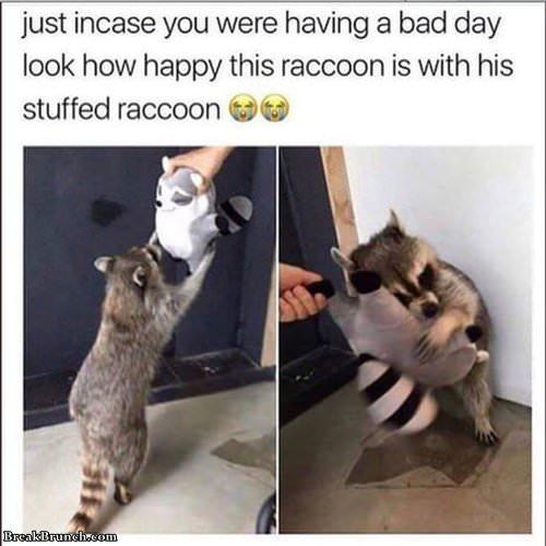Raccoon with stuffed raccoon