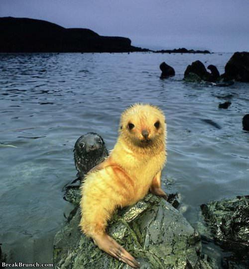 rare-blonde-seal-072419