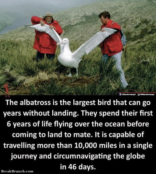 Albatross can go years without landing