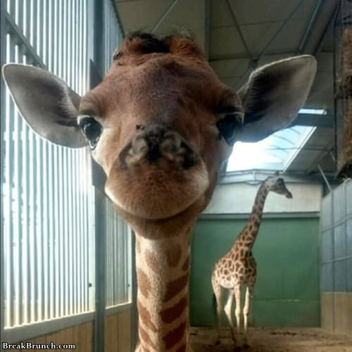 cute-baby-giraffe-091919