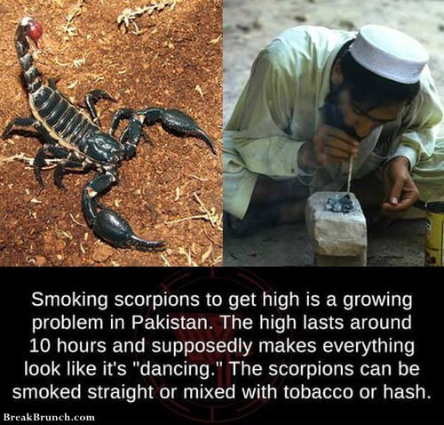 Smoking scorpions to get high