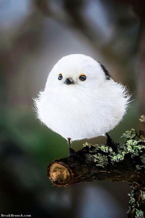 Cute Japanese Long-tailed tit