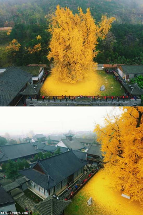 1400 years old ginkgo tree