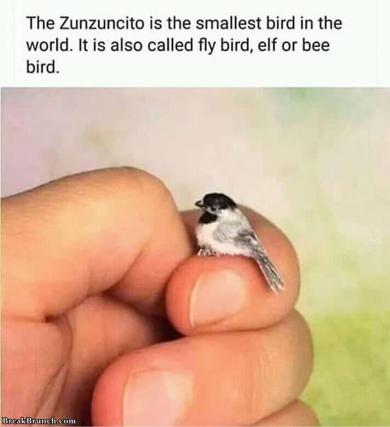 Zunzuncito is world smallest bird