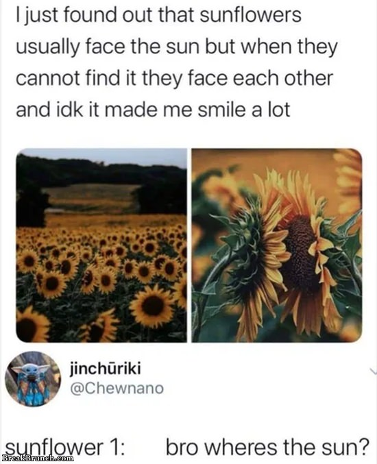Sunflowers will face each other when there is no sun