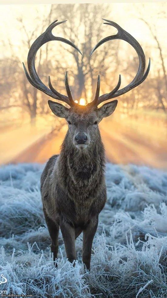 Majestic af deer